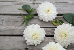 white dahlia flowers on weathered wooden boards, decorative summer or autumn flower in bright daylight