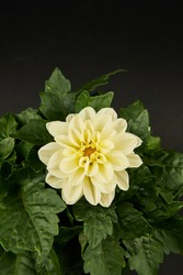 White dahlia overhead view with black background