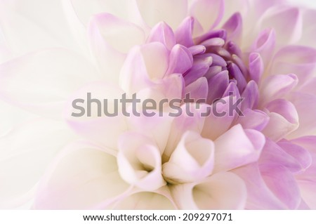 White dahlia with violet heart close-up , floral background.