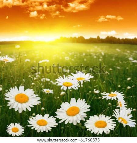 White daisies at sunset.