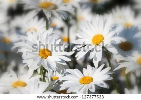 White daisies flower field background