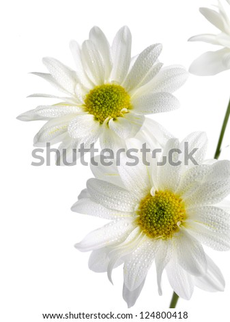 White Daisies in a close-up image