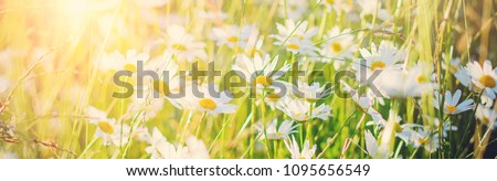 White daisies in a meadow in the light of the setting sun. Beautiful panoramic summer background.