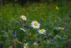 white daisies in green meadow grass. Blooming field daisies, natural background. Oxeye daisy, Leucanthemum vulgare, Daisies, Dox-eye, Common daisy, Dog daisy, Moon daisy. Gardening concept