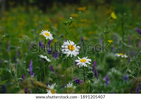 white daisies in green meadow grass. Blooming field daisies, natural background. Oxeye daisy, Leucanthemum vulgare, Daisies, Dox-eye, Common daisy, Dog daisy, Moon daisy. Gardening concept Stock foto ©