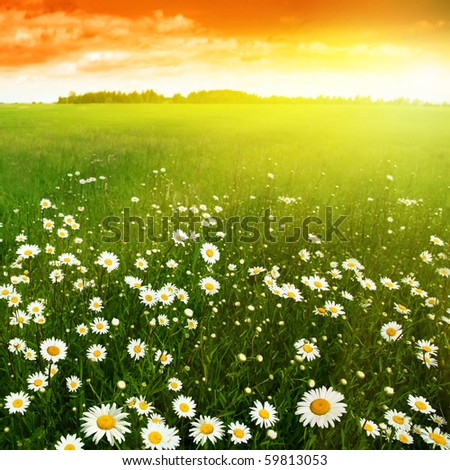 White daisies in meadow at sunset.