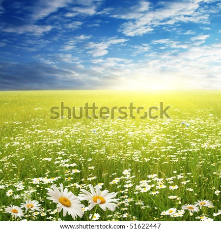 White daisies in the field on summer day.