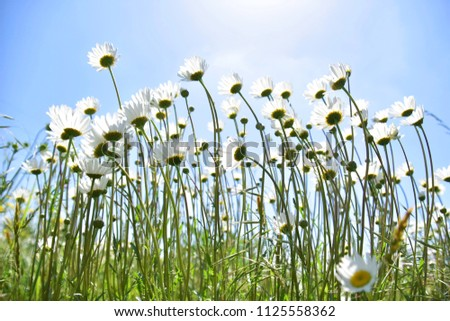 White daisies on blue sky background a beautiful daisy field, low angle Daisy picture.