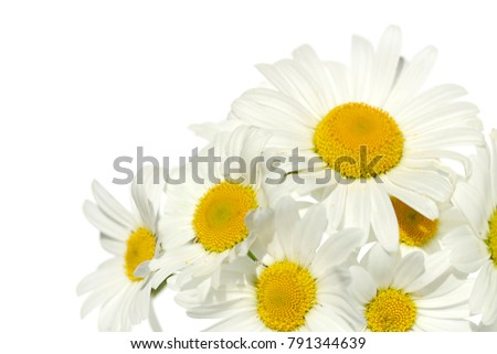 white daisies on white background. white flowers on a white background