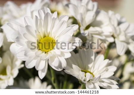 White daisies with great colors and light