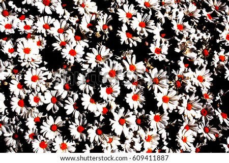 White daisies with orange center and black background