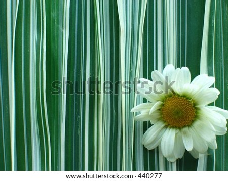 White Daisy and Ribbon Grass