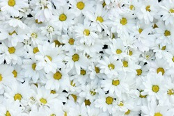 white daisy background texture outdoor