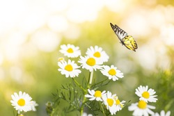 White Daisy Flower in Field With Butterfly