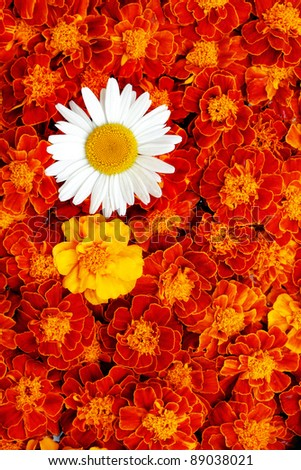 White daisy flower in the middle of french marigold