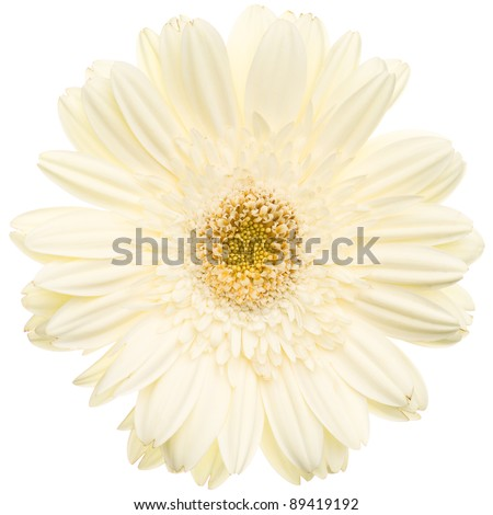 White daisy flower isolated on white background