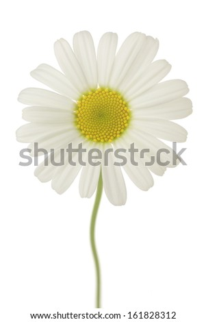 White daisy flower on white background - stock photo