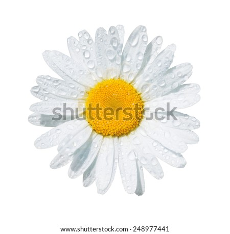White daisy flower with dew drops isolated on white background