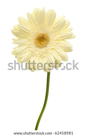 White daisy flower with stem isolated on white background