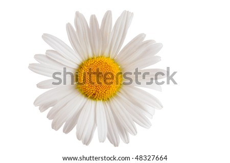 white daisy marguerite isolated - stock photo