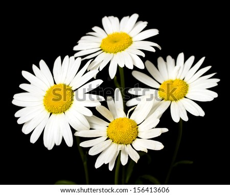 White Daisy On A Black Background Stock Photo 156413606 ...