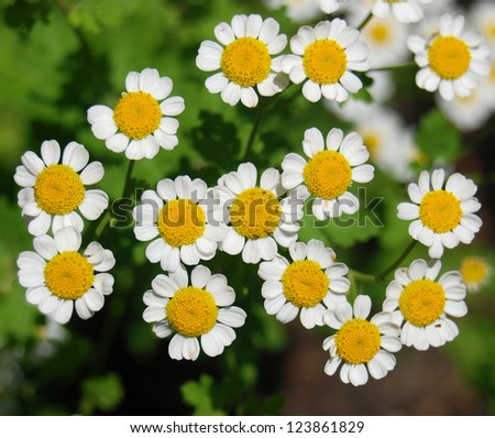 White daisy on the grass background