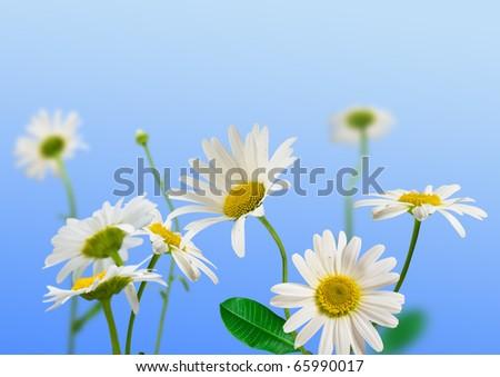 white daisywheels on blue background