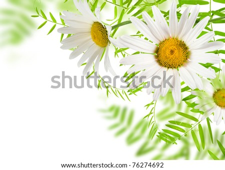 white daisywheels with green leafs white background