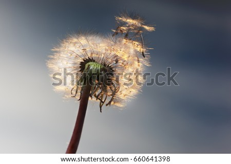 White Dandelion against the sky blowing seeds in the wind. Closeup,macro - Shutterstock ID 660641398