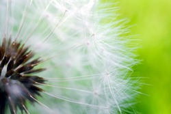 White dandelion hat with seeds close-up on a green grass background. Summer floral backdrop. Airy and fluffy horizontal wallpaper. Macro