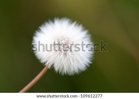 white dandelion on a green meadow close up