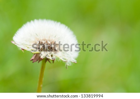 white dandelion on green background