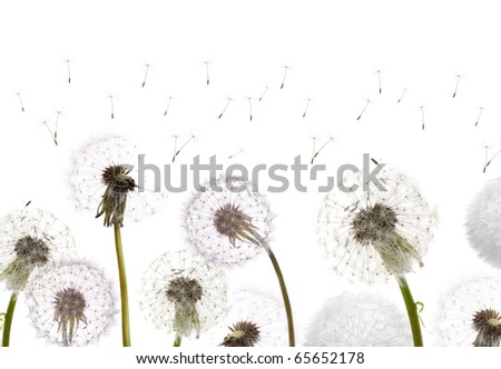 white dandelions isolated on white background
