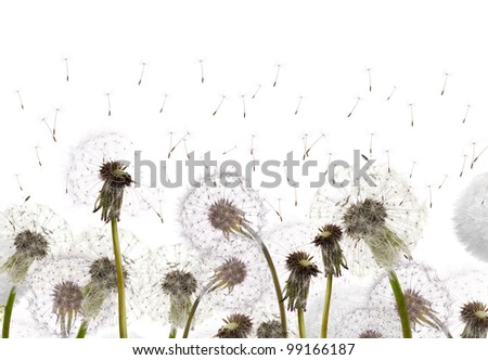 white dandelions isolated on white background