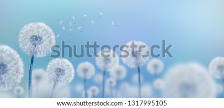 Photo of  white dandelions on blue background, wide view