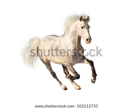 white dappled horse galloping on black