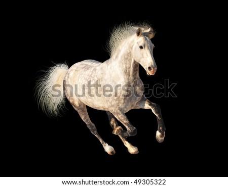 white dappled horse galloping on black