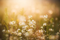 White delicate flowers grow among the grass in the meadow, illuminated by the bright rays of the rising sun in the early summer morning. Serenity and harmony.