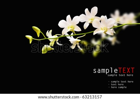 white dendrobium isolated on black background