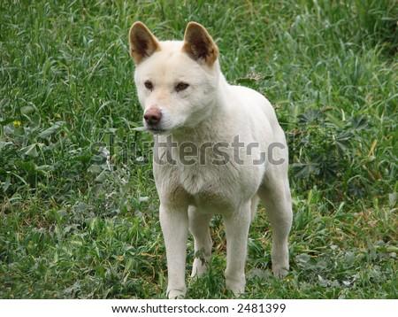 white dingo