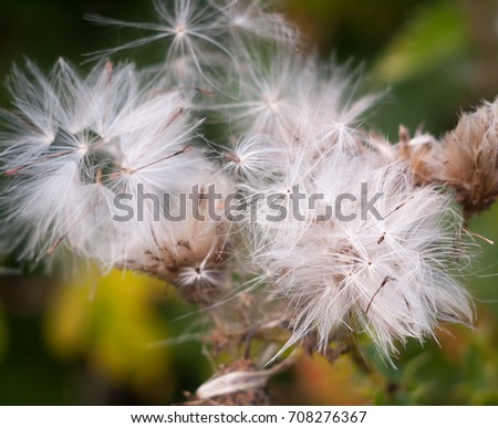 white dispersed seed heads of dandelion Taraxacum officinale #708276367
