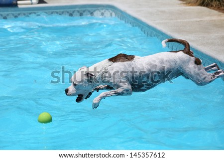 Dog Diving Into a Pool White Dog Diving Into The