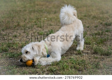 White dog enjoys his ball