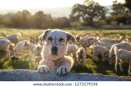 white dog guarding the farm #1273179196