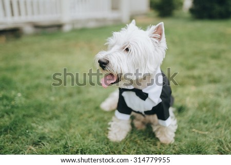 white dog in a suit sitting on a green lawn in the backyard