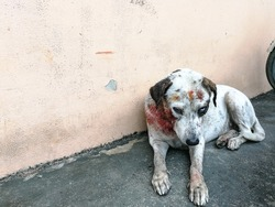 White dog injury after bite., Stray dog attack dog., white dog have blood after bite and hurt.