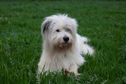 White dog lies in the grass. The dog guards the bone. Pet for a walk. Portrait of a pet.