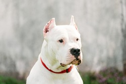 White Dog Of Dogo Argentino Also Known As The Argentine Mastiff Is A Large, White, Muscular Dog That Was Developed In Argentina Primarily For Purpose Of Big-game Hunting, Including Wild Boar.