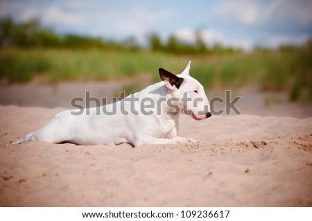 white dog resting dog on the beach