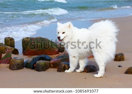 white dog samoyed walks near...